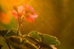 Pelargonium Geranium flowers. Lovely pink and white Pelargonium Geranium flowers, close up royalty free stock photo