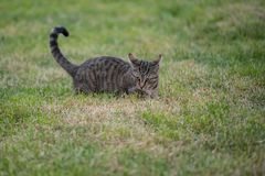 Lovely playful gray cat with striped fur royalty free stock photo