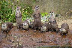 Lovely playful otters in symmetrical stand. At the zoo Royalty Free Stock Photos