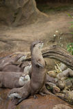 Lovely playful otters. At the zoo Royalty Free Stock Photos
