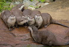 Lovely playful otters Royalty Free Stock Photo