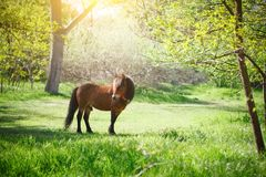 The lovely pony walks and is grazed in the park. royalty free stock photography