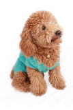 Lovely poodle Stock Photo