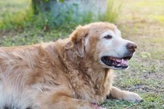 Friendly golden retriever dog is absent minded and relaxing in the garden royalty free stock image