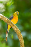 Lovely portrait of Orange-breasted Trogon Stock Images
