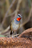 Lovely Portrait of Siberian Rubythroat. (Calliope calliope) move her head in nature of Thailand Stock Photography