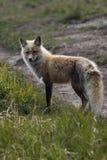 Lovely portrait of wild fox Stock Photo