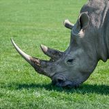 Lovely profile close up portrait of Southern White Rhinoceros Rh Royalty Free Stock Image