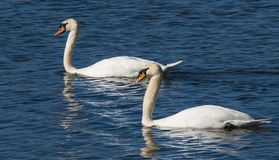 Two beautiful mute swans on the sea at Cuckmere Haven estuary salt marshes in East Sussex, England royalty free stock photography