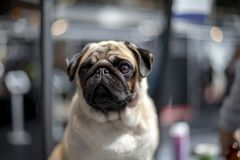 Lovely pug with blinking eye is sitting in front of a shopwindow. royalty free stock photo