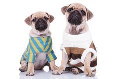 Lovely pug couple in colorful sweaters sitting and looking up. On white background Royalty Free Stock Image