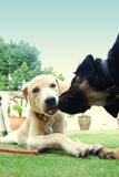 Lovely puppies. Kissing to each other Stock Photography