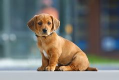 Lovely puppy. On the ground sitting Royalty Free Stock Image