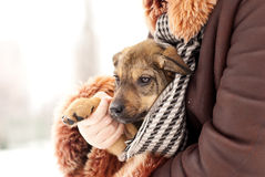 Lovely puppy Royalty Free Stock Images