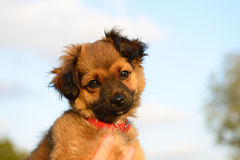 Lovely Puppy Royalty Free Stock Photography