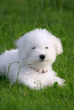 Lovely puppy. A cute bichon frise puppy, in the grass Stock Photo