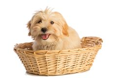 Lovely puppy in basket royalty free stock image