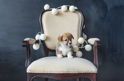 Lovely puppy dog portrait. Corgi puppy sit on wooden white armchair. Royalty Free Stock Photography