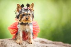 Lovely puppy of female Yorkshire Terrier small dog with red skirt on green blurred background royalty free stock images