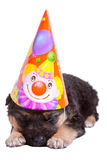 Lovely puppy with festive cap Stock Photos
