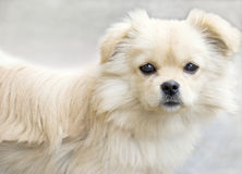 Lovely puppy looking front. A brown white puppy is looking front with bright hoping eyes ,the background is clean Royalty Free Stock Photography