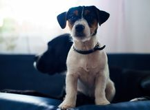 Lovely puppy looks sweet, purebred jack russell terrier cuddled to a big dog stock photos