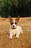 Lovely puppy lying portrait Royalty Free Stock Photography