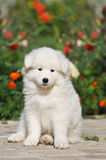 Lovely puppy portrait Royalty Free Stock Images