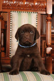 Lovely puppy sits on the chair Stock Photography