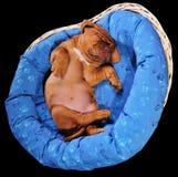Lovely puppy Sleeping Stock Image