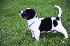 Puppy in the yard. Puppy standing on the green meadow grass Stock Photography