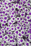 Lovely purple blossom daisy flowers background Stock Photo