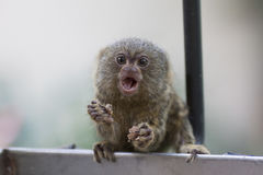 Lovely pygmy marmoset royalty free stock images