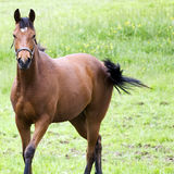 Lovely Quarter Horse Royalty Free Stock Photos