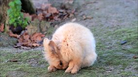 Lovely rabbit, dwarf bunny, outside, easter stock video footage