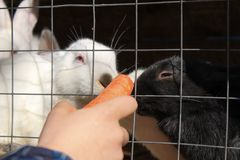 A lovely rabbit eating food by hand. royalty free stock image