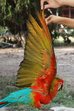 Lovely red and blue macaw parrot,Hand wings of bird raised. Stock Photography