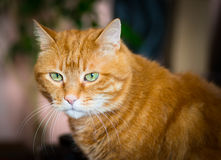 Lovely red cat. Stock Photo
