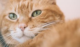 Lovely red cat. Focus on eyes. Color toned stock image