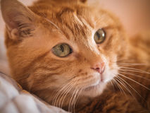 Lovely red cat. Lovely red cat looking into the camera. Selective focus royalty free stock image