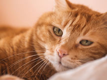 Lovely red cat. Lovely red cat looking into the camera. Selective focus royalty free stock photo