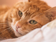 Lovely red cat. Lovely red cat looking into the camera. Selective focus royalty free stock photos