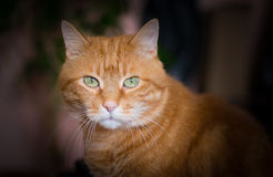 Lovely red cat. Royalty Free Stock Photo