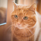 Lovely red cat. Stock Photography