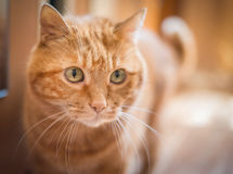 Lovely red cat. Royalty Free Stock Images