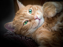 Lovely red cat. Stock Photos
