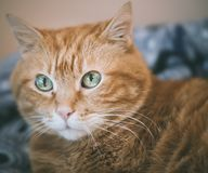 Lovely red cat. Focus on eyes. Color toned royalty free stock photography