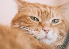 Lovely red cat. Focus on eyes. Color toned stock images