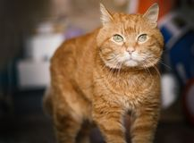 Lovely red cat. Lovely red cat looking into the camera. Soft focus on eyes royalty free stock photos