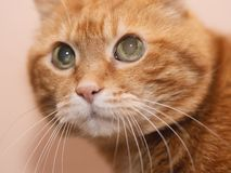 Lovely red cat. Soft focus stock image